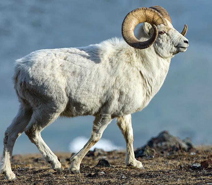 Denali Goat
