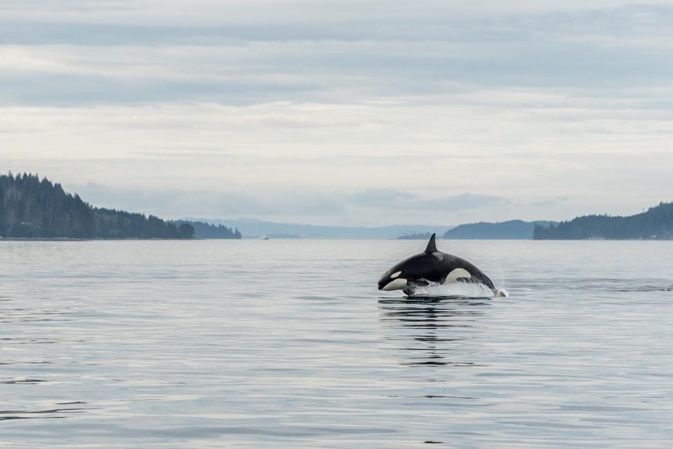 Vancouver Island Orca Wildlife