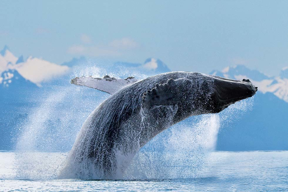 Ncl Alaska Humpback Rf Hi