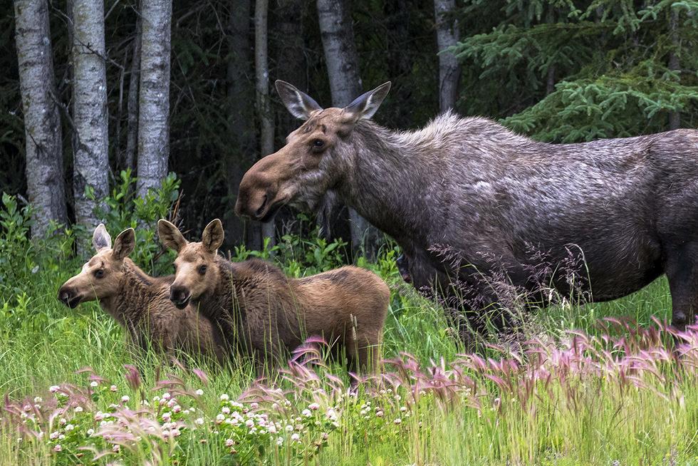 Moose Kids