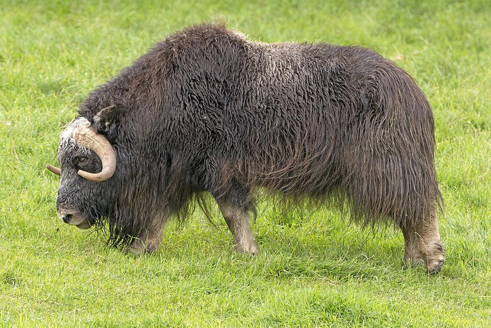 Musk Ox Matanuska